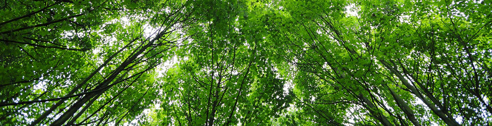 A canopy made from lush green trees in summer.