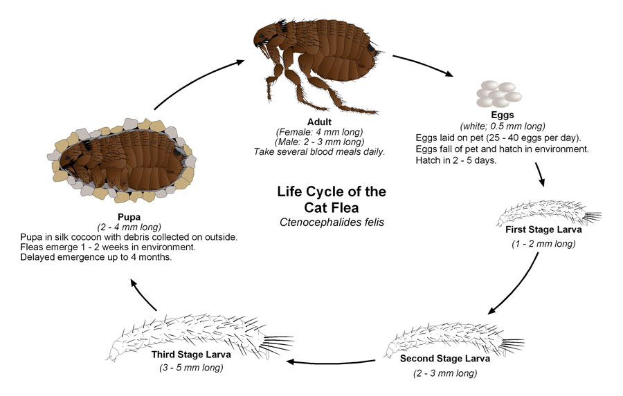 pests-flea-life-cycle