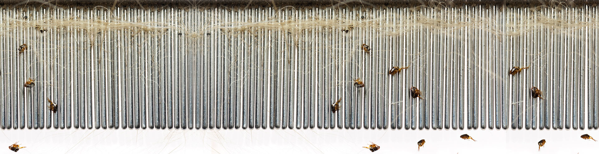 A group of fleas found on a comb after brushing a dog.
