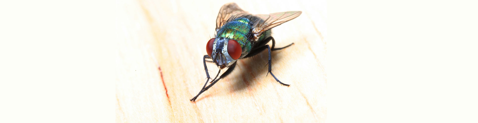 A common fly with large red eyes rubbing its front two legs together.