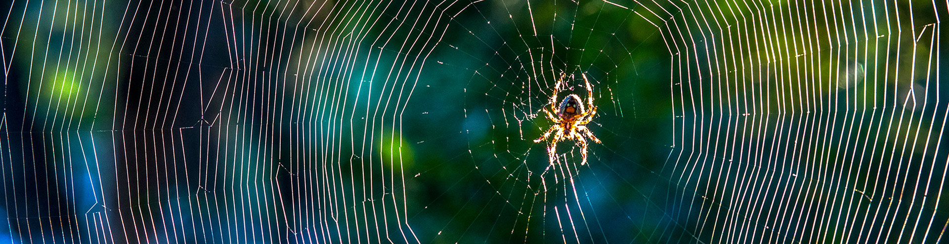 A spider in the center of the web it recently spun.