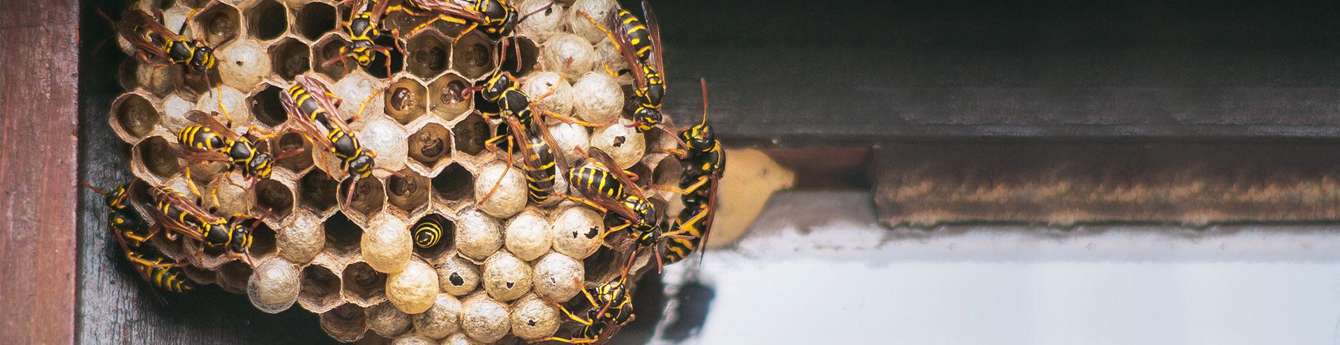 pests-wasps-nest-building